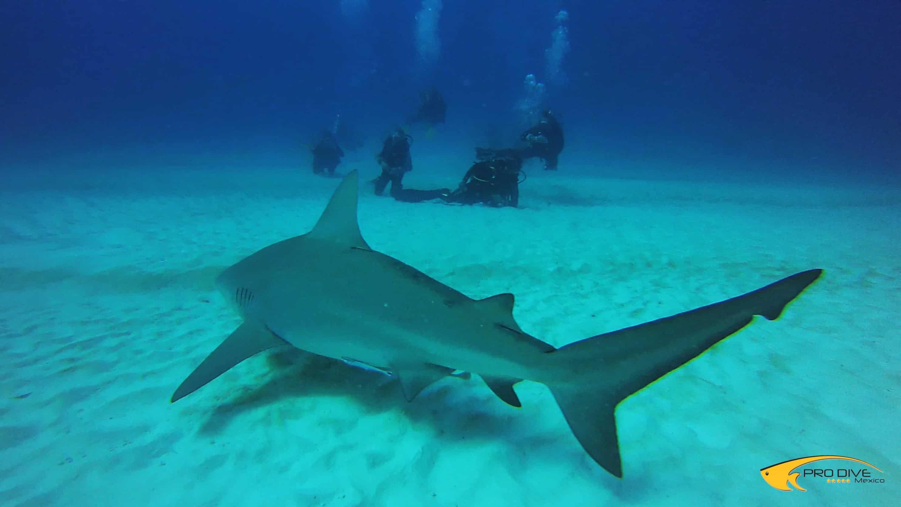 the life and habitat of a bull shark Bull shark, zambezi shark, zambi, nicaragua shark, ganges river shark,  life  history  diet bull sharks eat a wide range of food, including rays, sea turtles,.