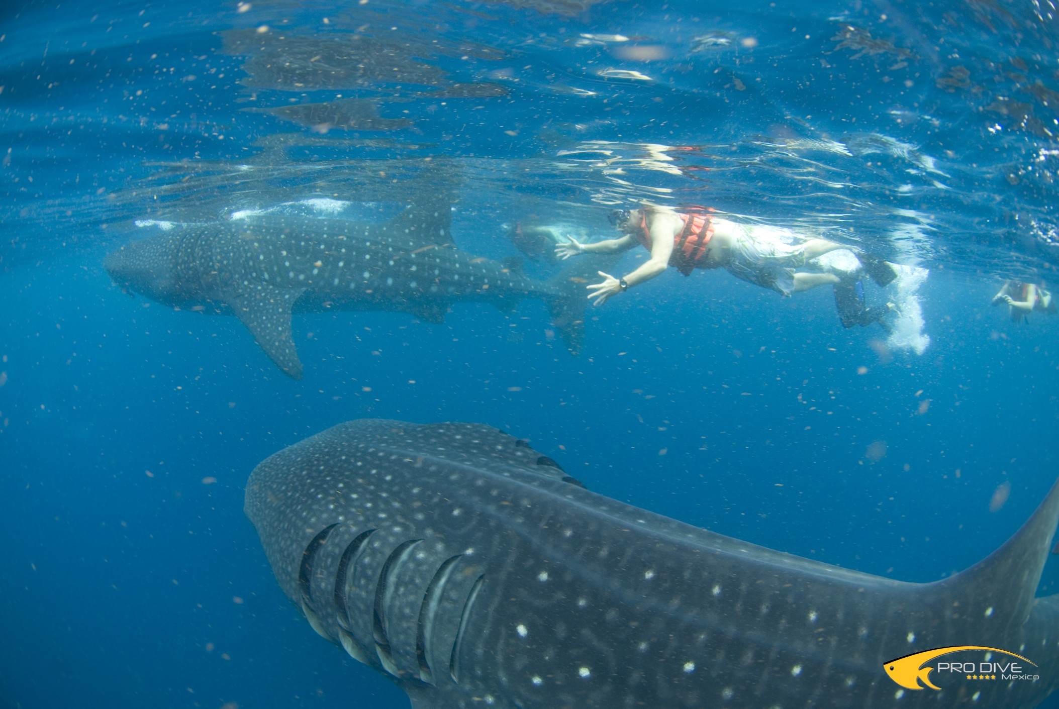 whale shark safari pro dive our article here